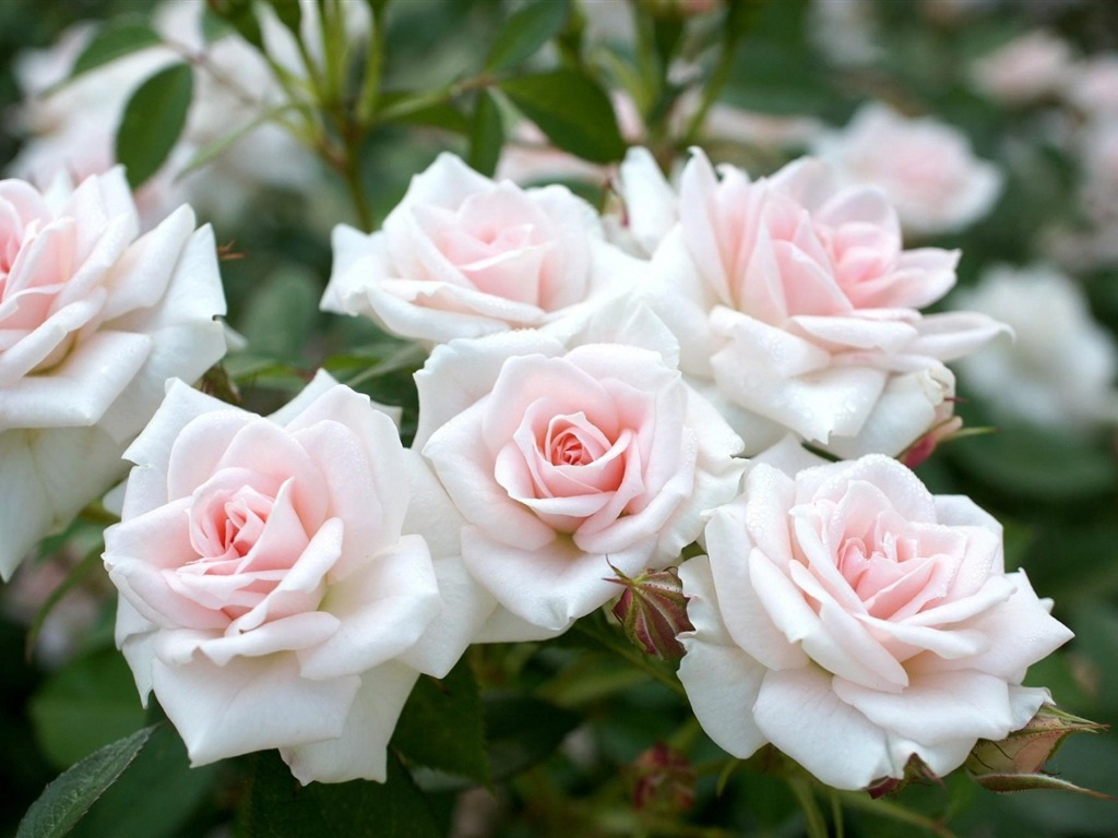 white rose garden-flowers photography HD Wallpaper ... White Rose Flower Garden Wallpaper
