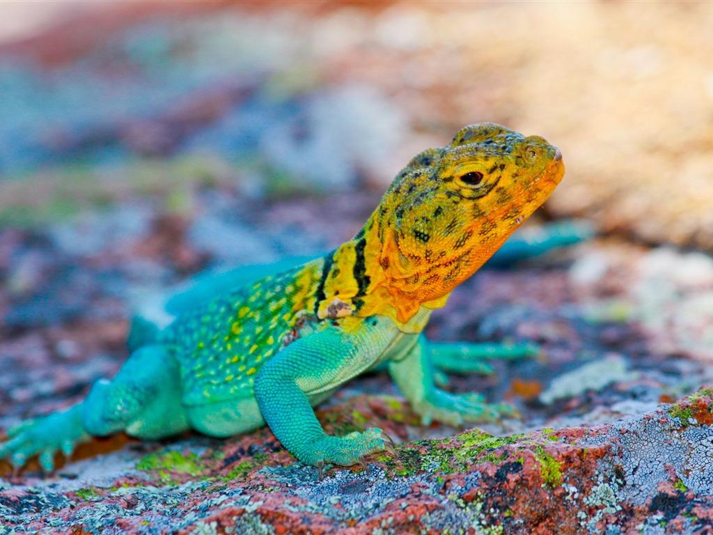 緑とオレンジ色のかっこいいトカゲの壁紙