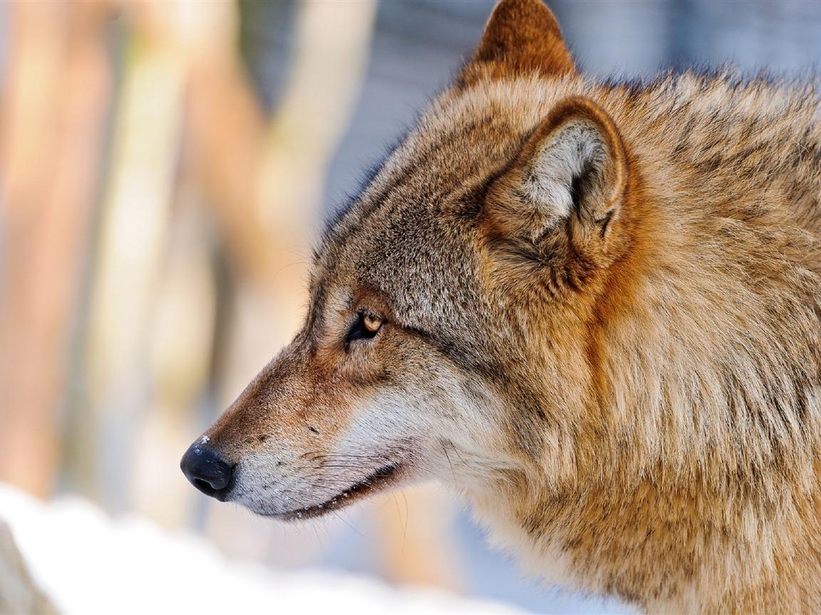 Wild Animal Wolf Wallpapers Hd 51074 Wallpaper: オオカミのプロフィール写真-野生動物のHD壁紙プレビュー