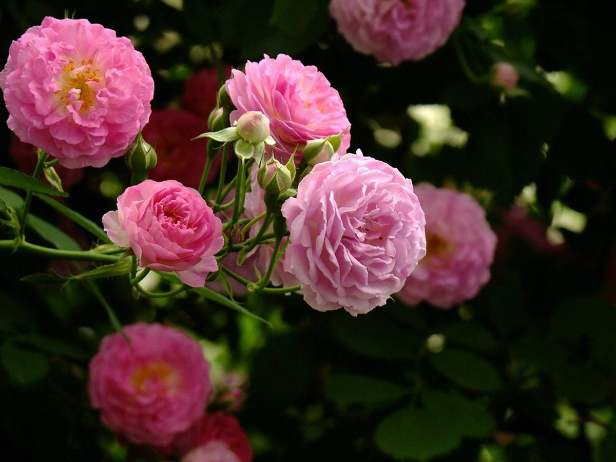 Rose flowers-Flower photography wallpaper - 1200x900 wallpaper ...
