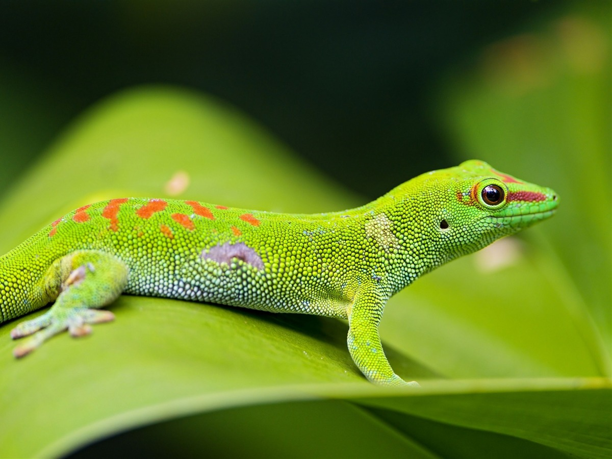Lizard Gecko Leaf-Animal Photo Desktop Wallpaper Preview