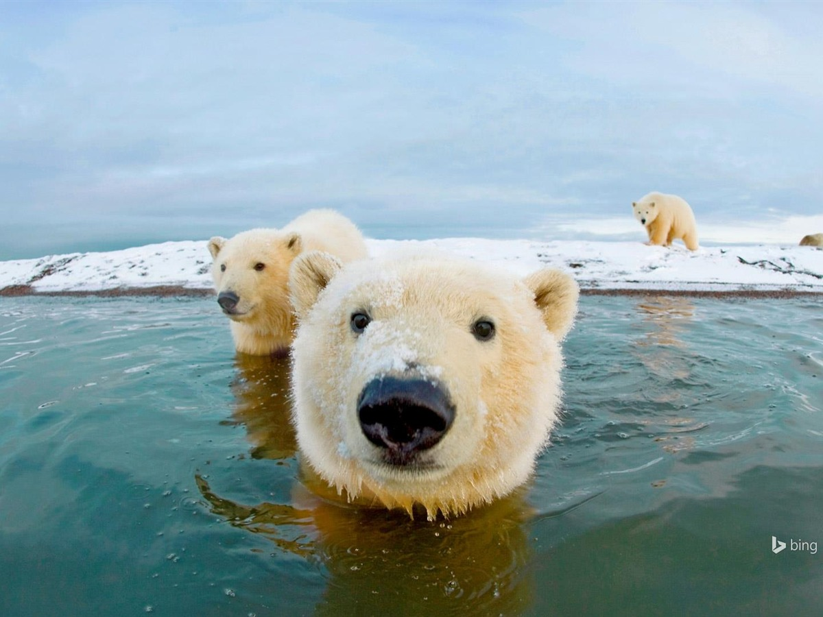 广告语_阿拉斯加北极熊-Bing 桌面壁纸预览 | 10wallpaper.com