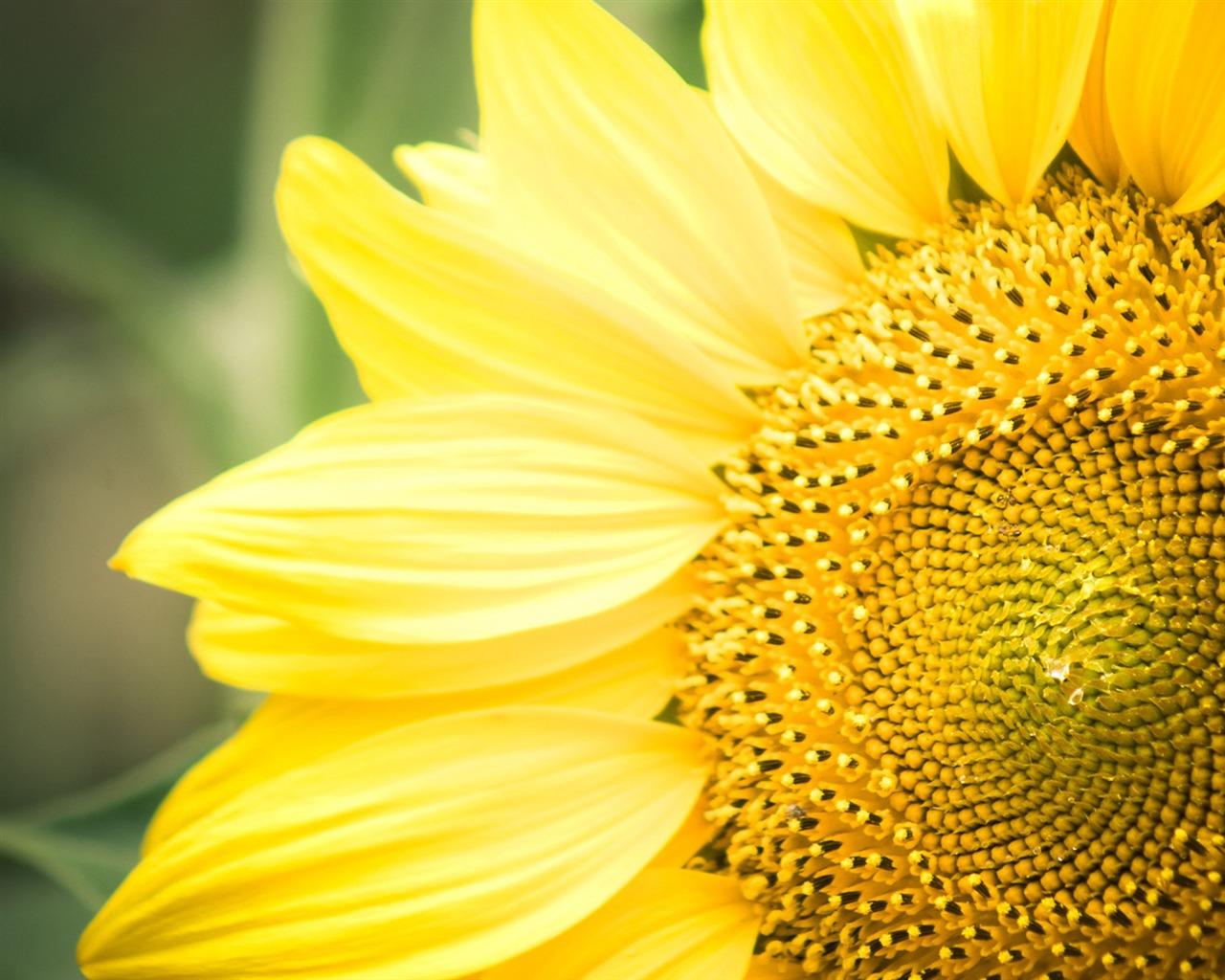 De tournesol fleurs photographie de bureau aper u for Image fond de bureau