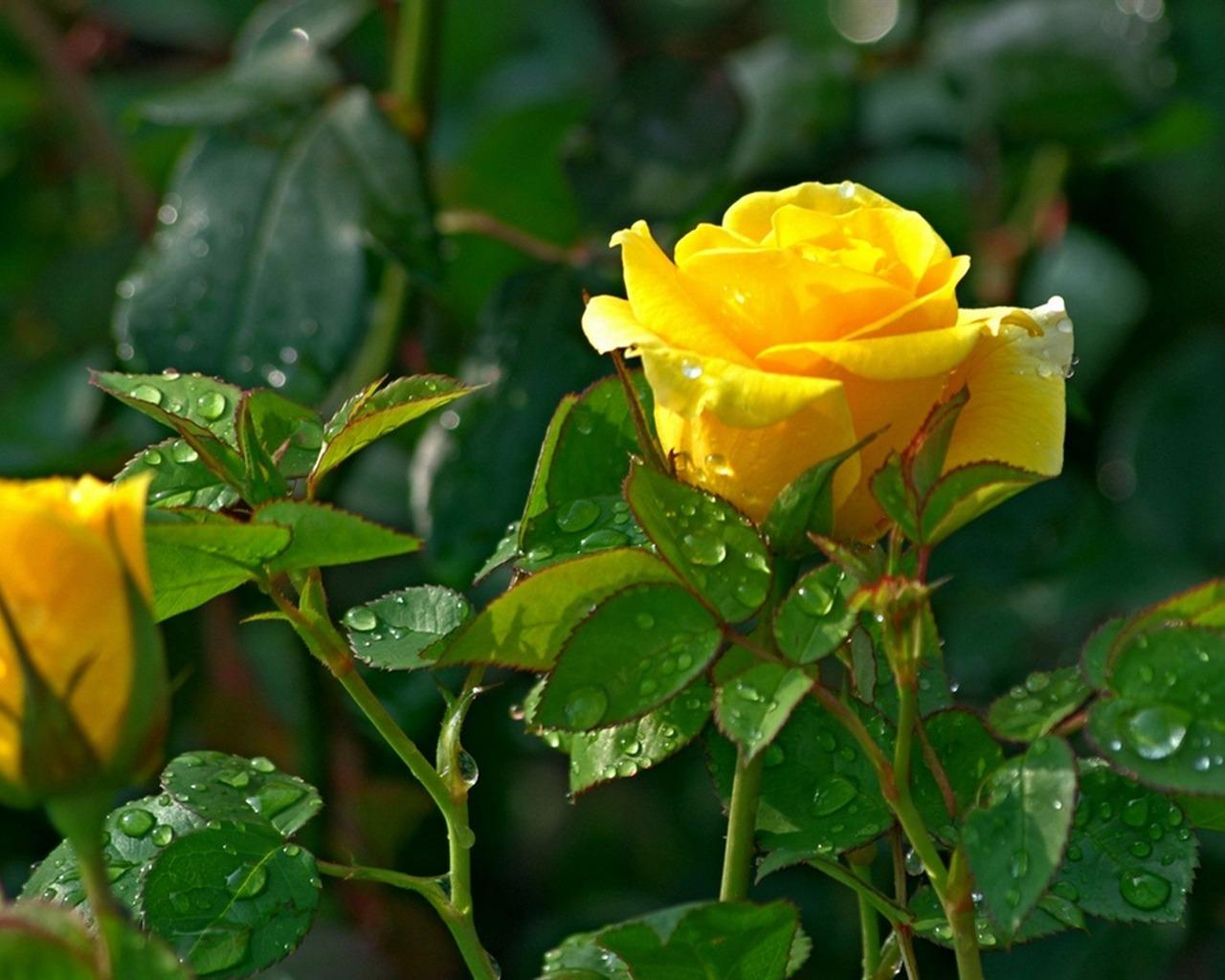 yellow rose-flower photography wallpaper Preview ...  Yellow Rose Flowers Wallpapers For Desktop