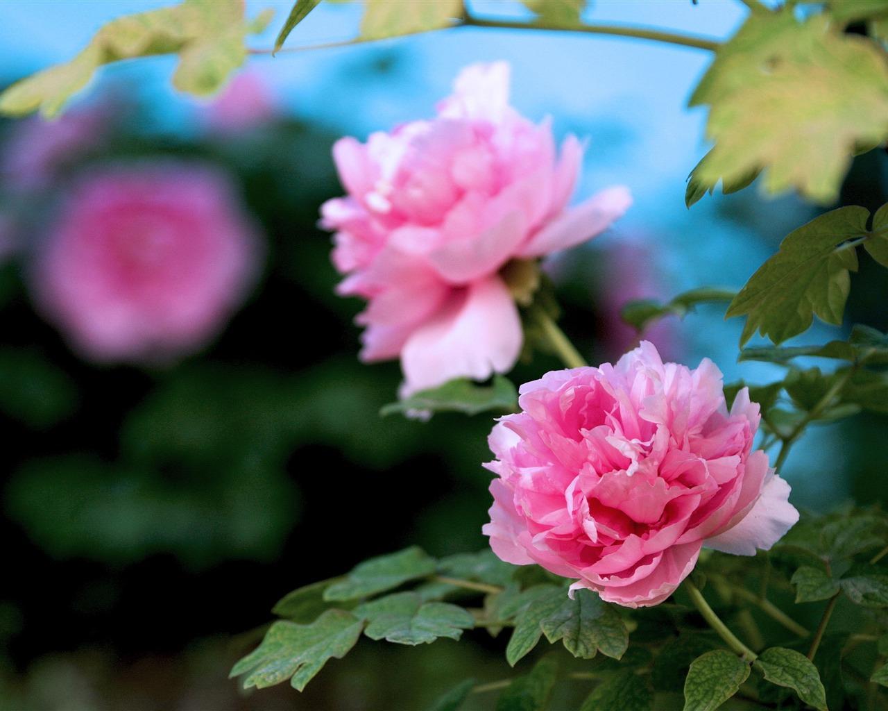 美しい花 明るい牡丹の花写真壁紙プレビュー 10wallpaper Com