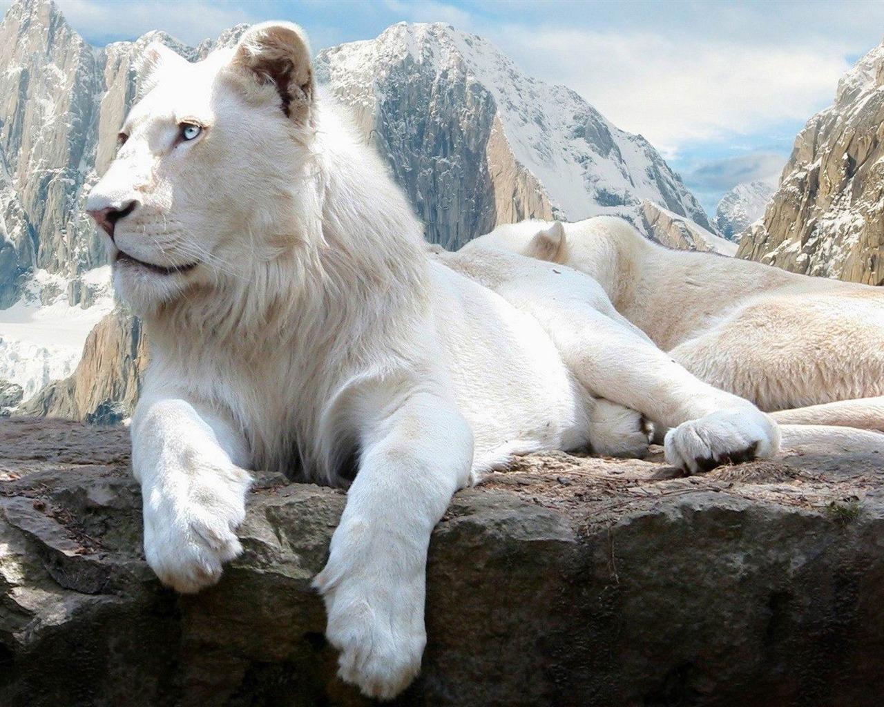 le lion blanc fonds d 39 cran animaux mignons aper u. Black Bedroom Furniture Sets. Home Design Ideas