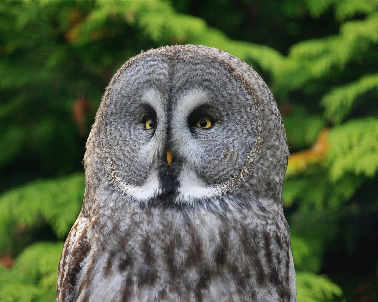 Great Gray Owl Animal Photo Wallpaper Preview 10wallpapercom