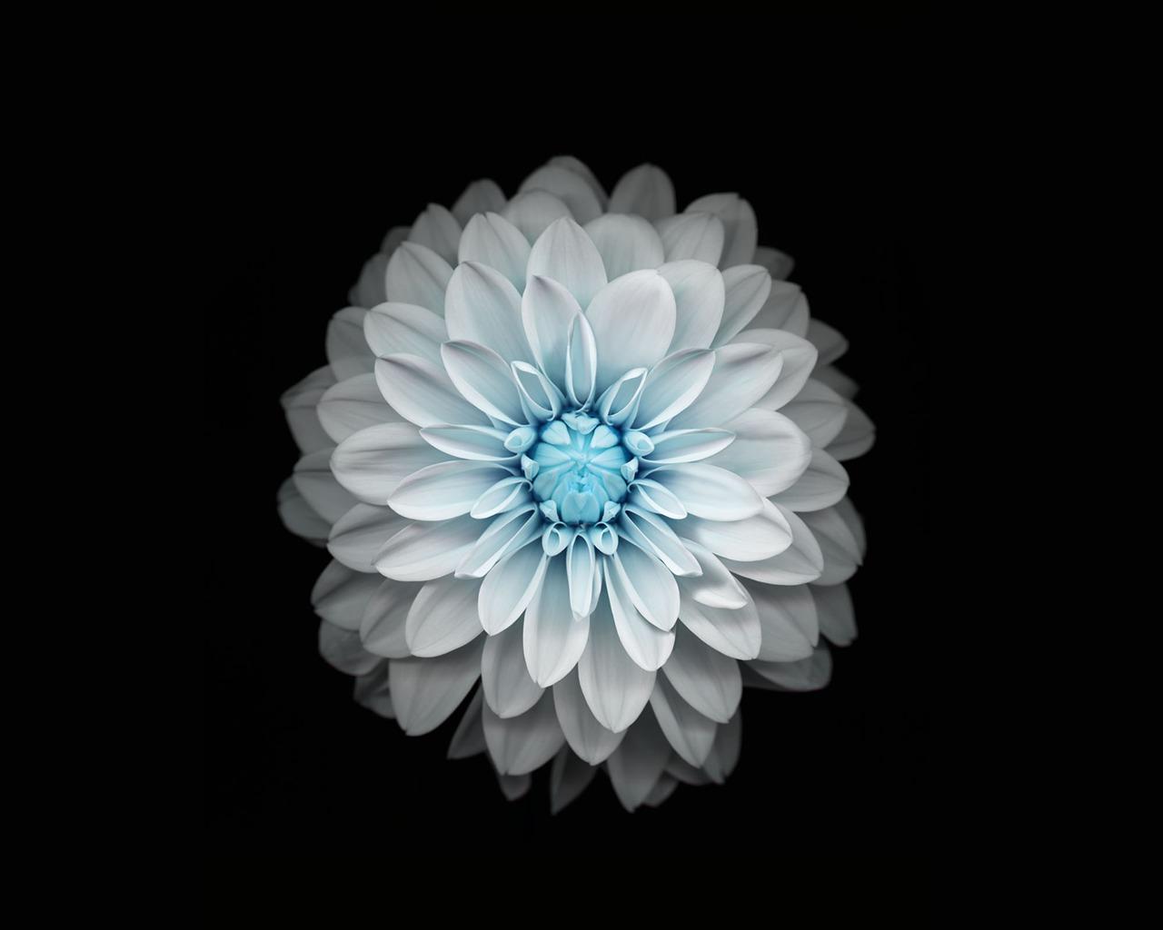 蓝色的花-Apple IOS 8 IPhone 6 Plus高清壁纸预览