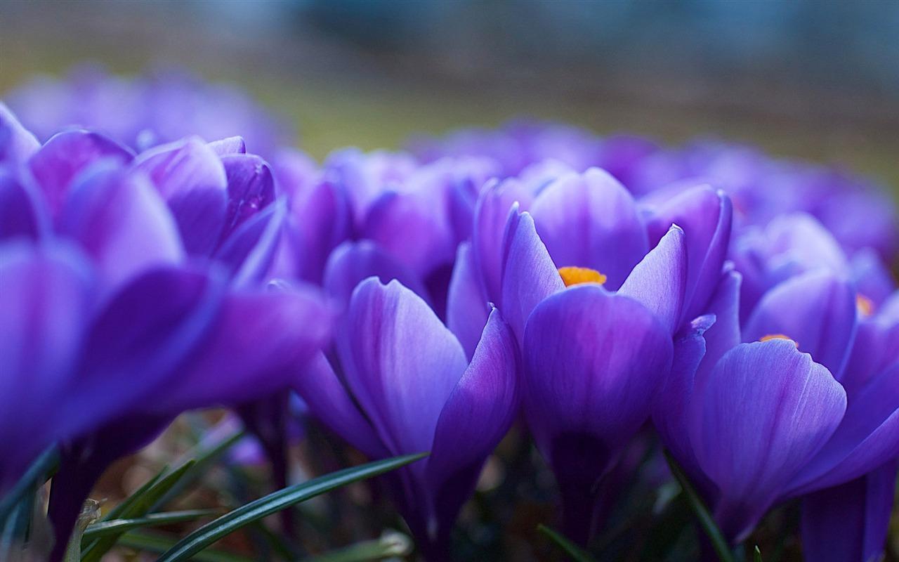 Eleletsitz Tulip Biru Images