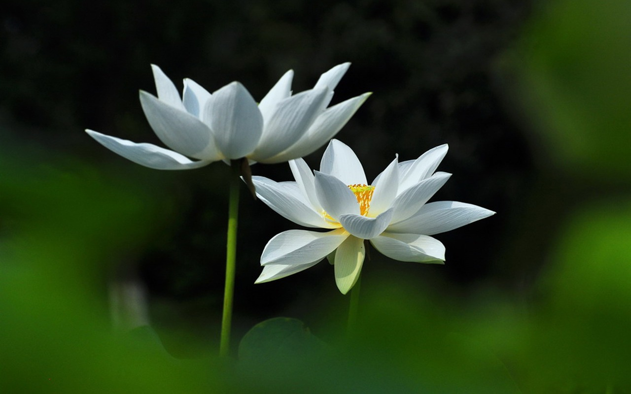 Joan Powder Jade White Lotus Flower Photography Wallpaper Preview