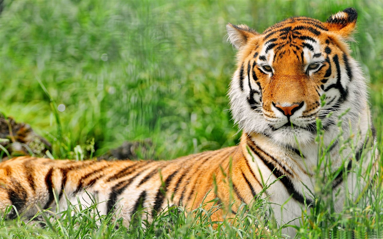 Tiger Art Wallpaper Jpg 960 800: Tiger Resting-Animal Wallpaper View