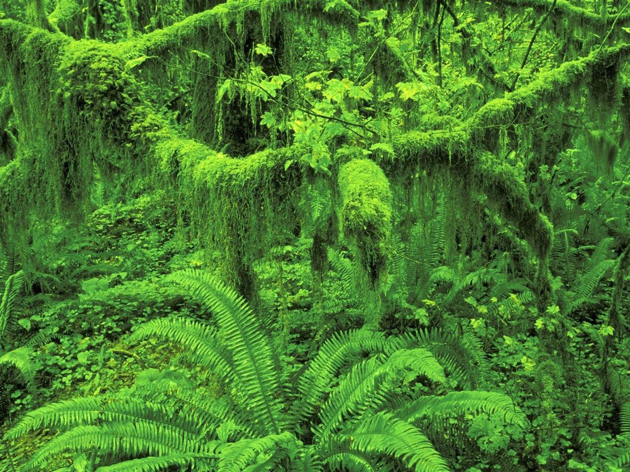 Olympic National Park-Huo rainforest wallpaper-1280x960 Download | 10wallpaper.com