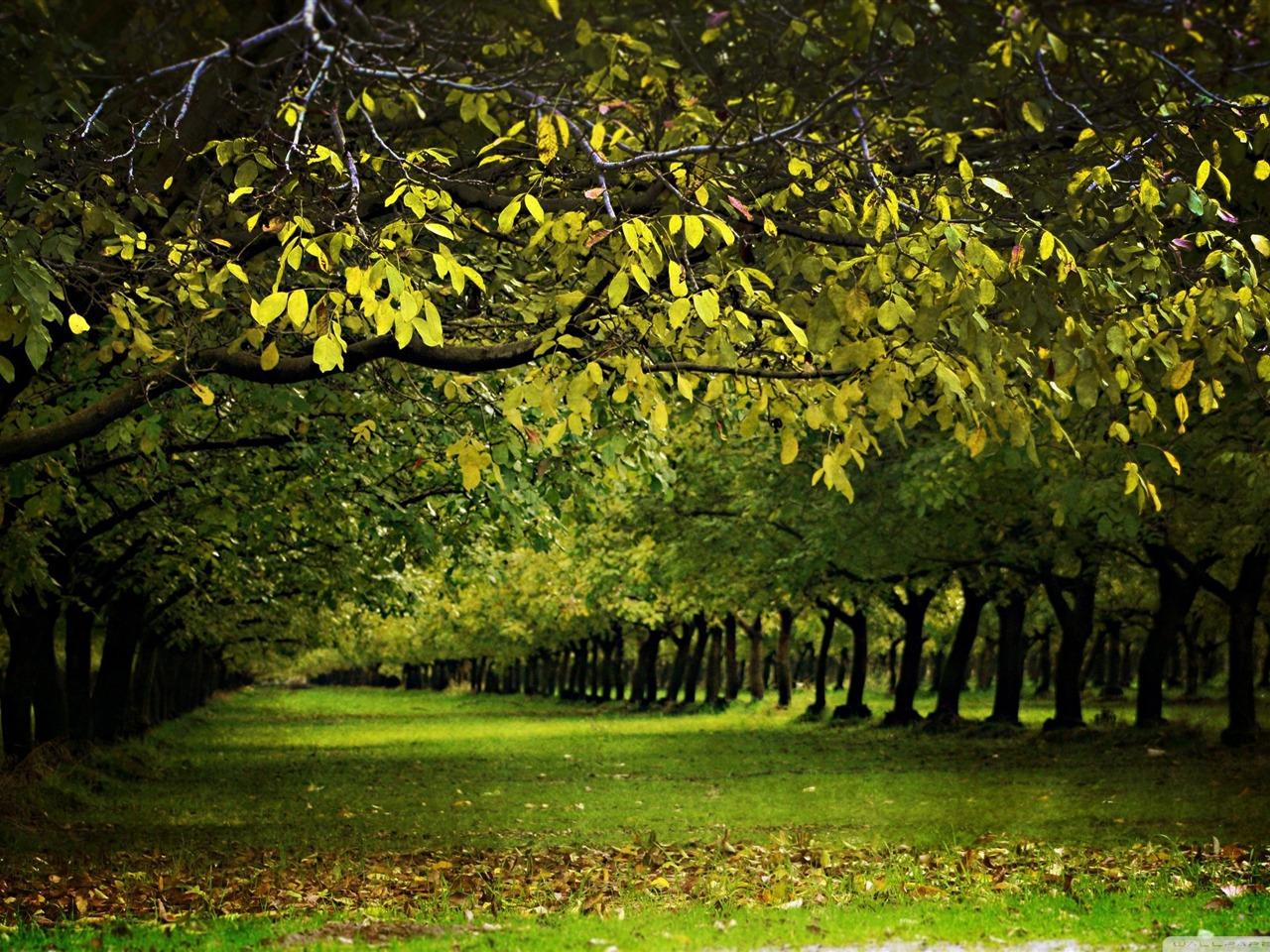 在秋季的核桃果园 秋季风景桌面壁纸图片
