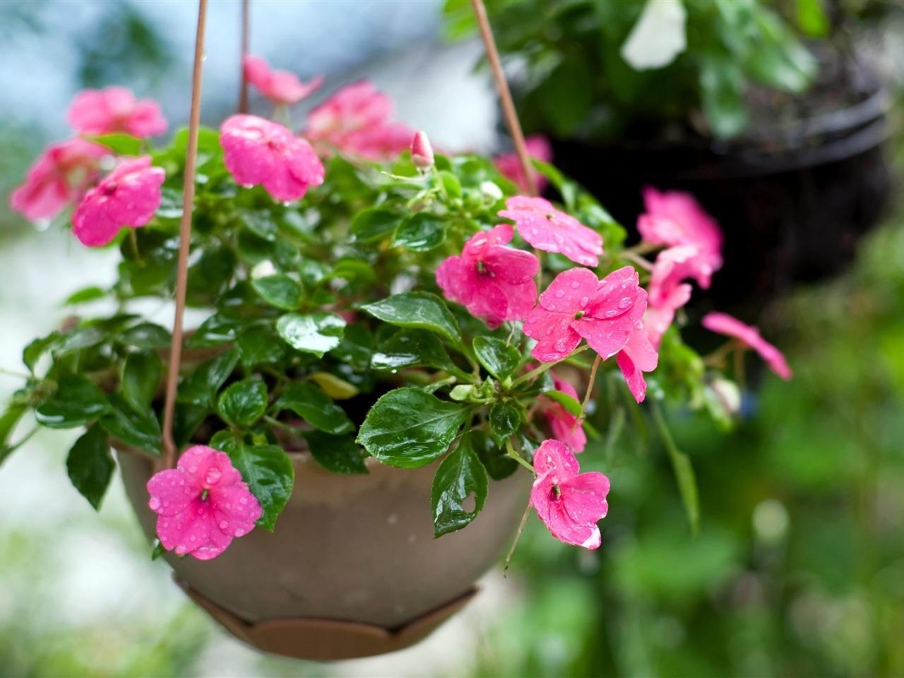 Цветок огонек садовый