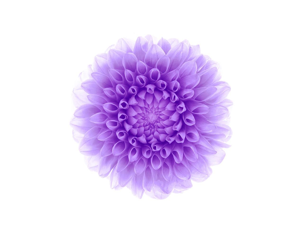 紫色の花-Apple IOS8 IPhone6 Plus HDの壁紙プレビュー