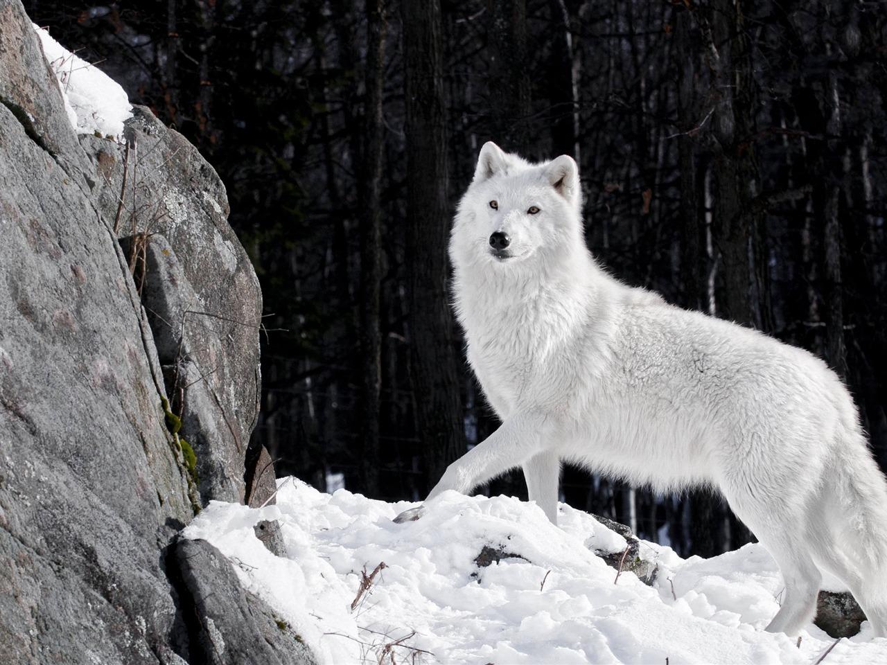 Wild Animal Wolf Wallpapers Hd 51074 Wallpaper: 美しい冬の森ホワイトウルフ-野生動物のHD壁紙プレビュー