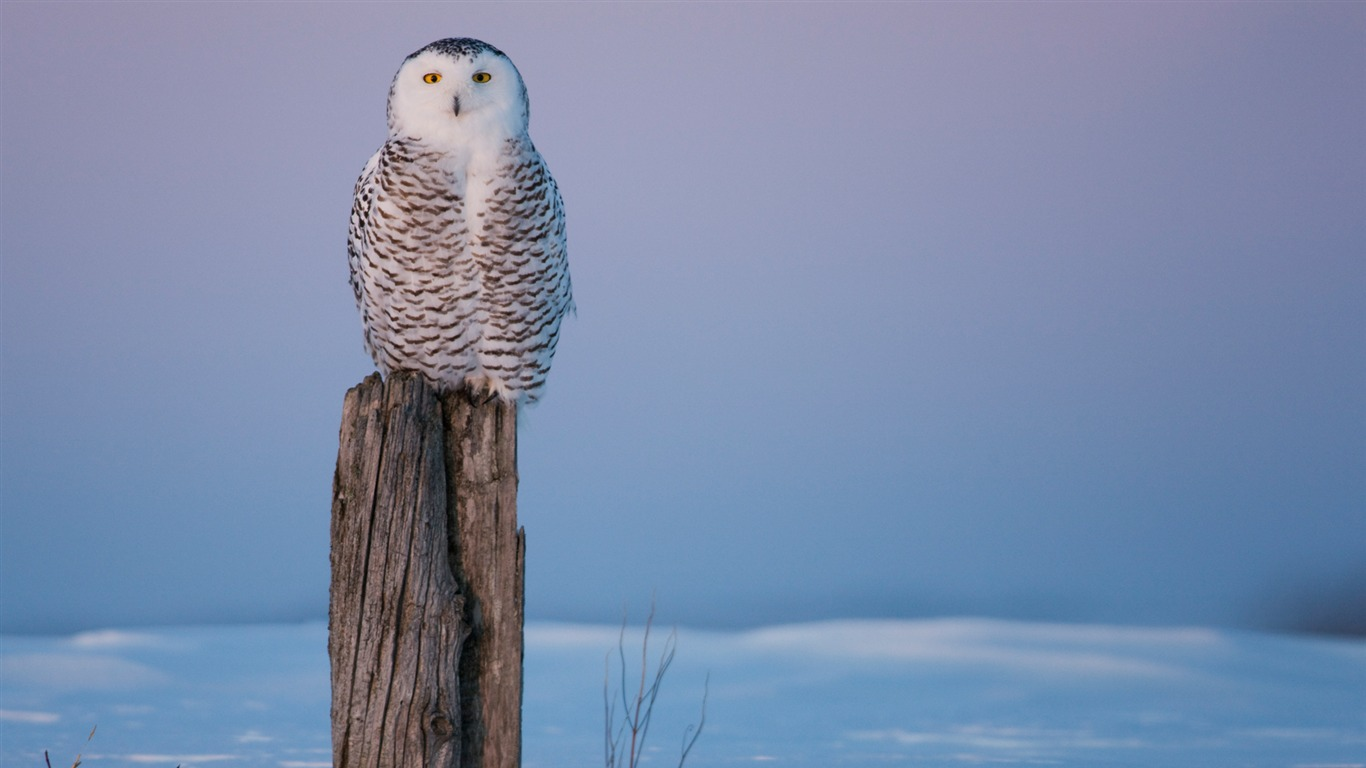 Canada Live In The Barrier Pillar Of The Snowy Owl Wallpaper
