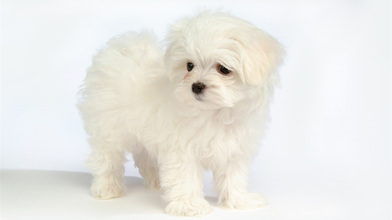 Lovely Little White Fluffy Puppy