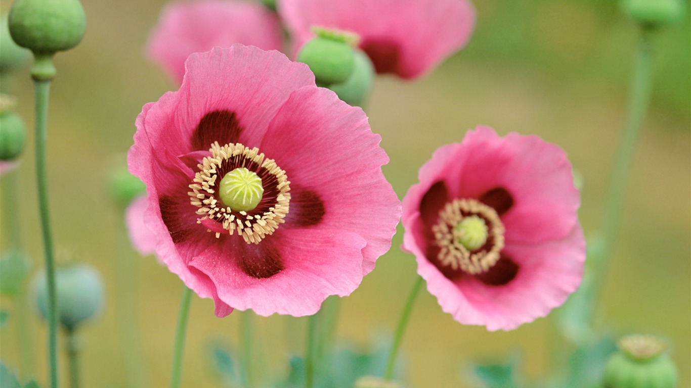 Poppies_wallpaper