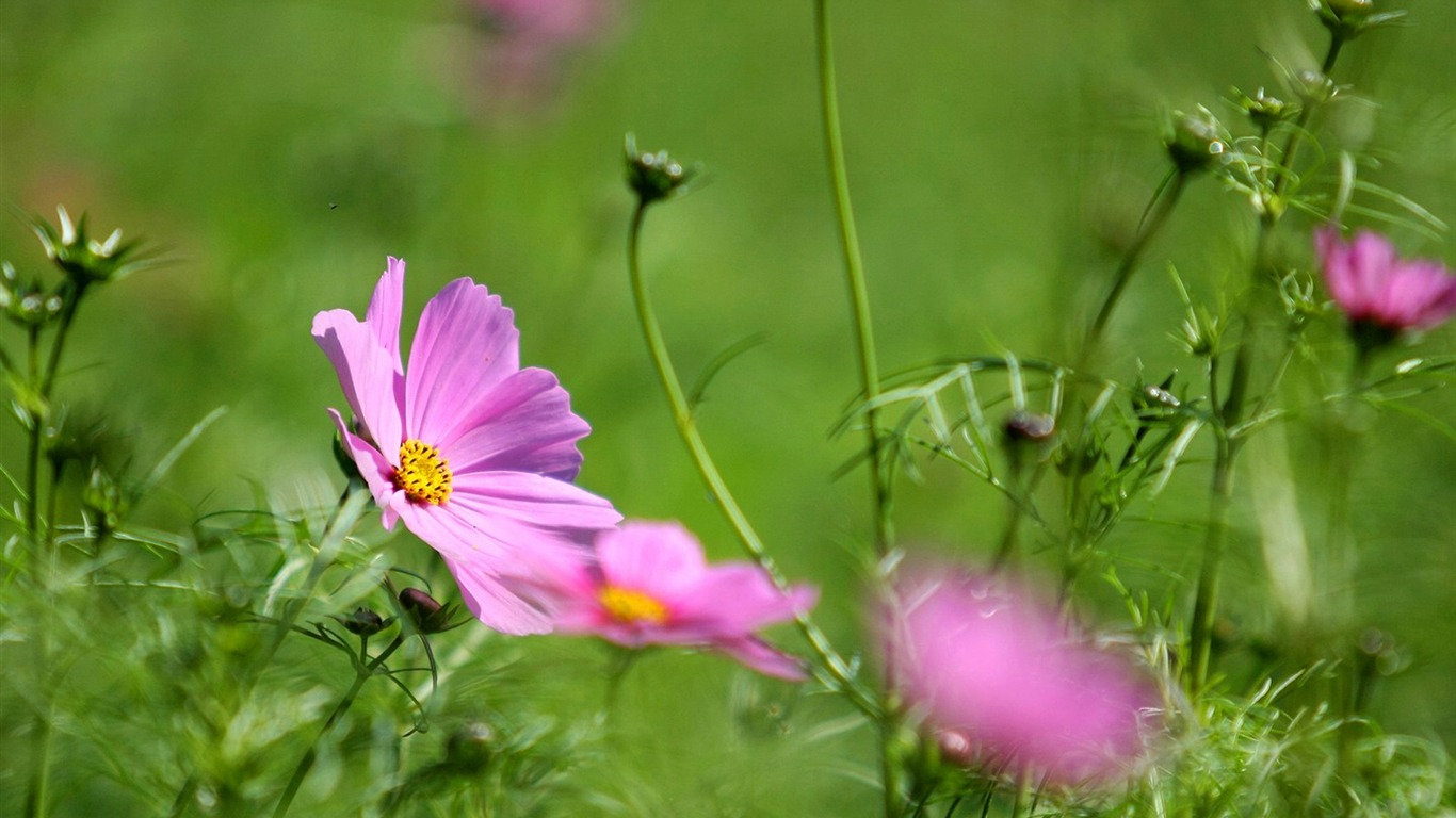 Autumn_flowers-grass_in_the_cosmos_Wallpaper_022011.8.23