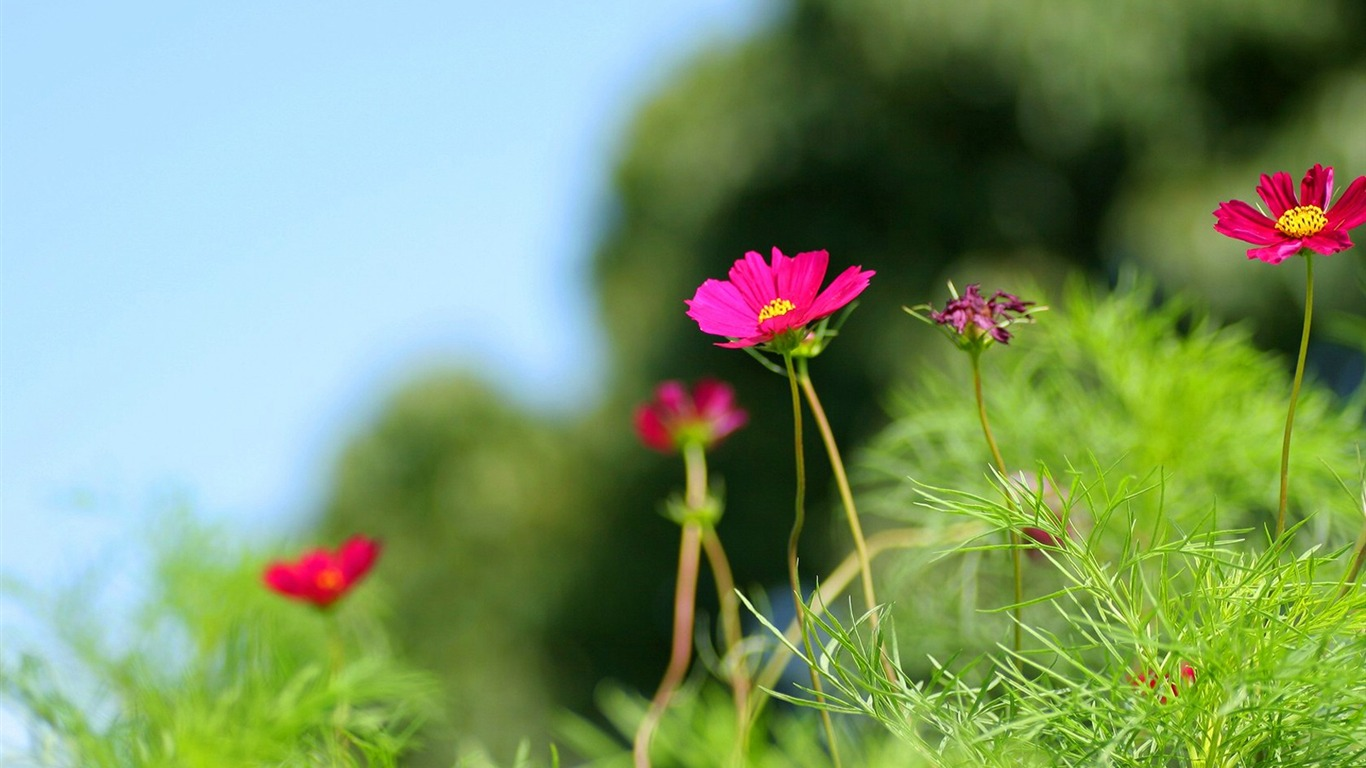 Autumn_flowers-grass_in_the_cosmos_Wallpaper_132011.8.23