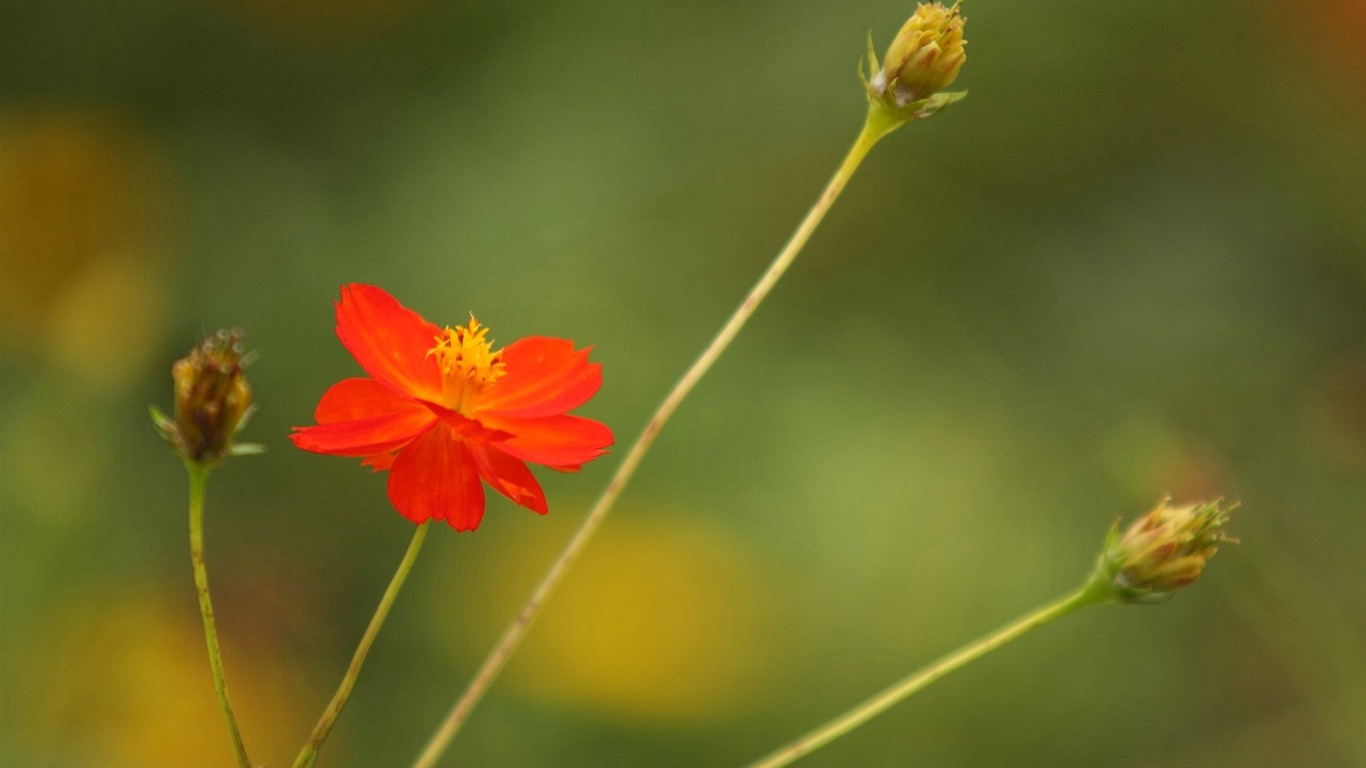 Autumn_flowers-grass_in_the_cosmos_Wallpaper_322011.8.23