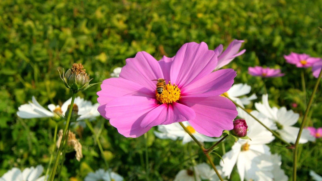 Autumn_flowers-grass_in_the_cosmos_Wallpaper_352011.8.23