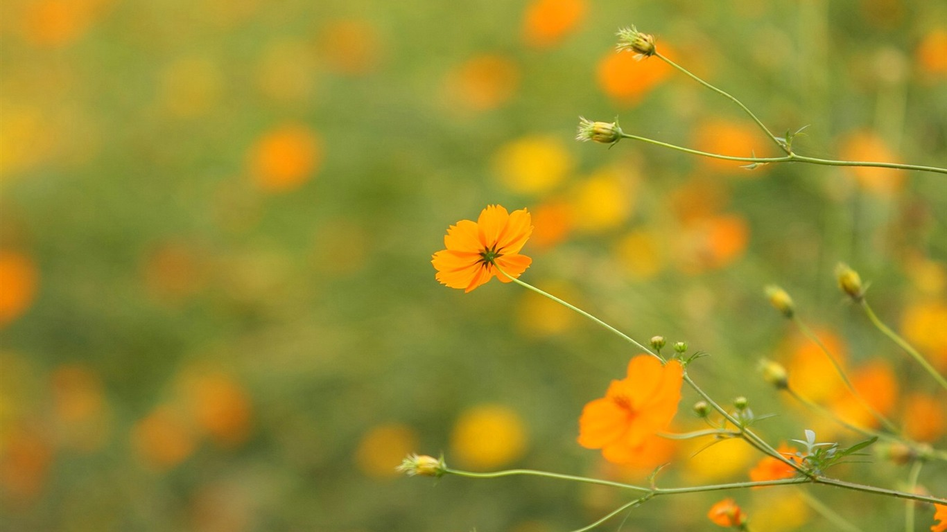Autumn_flowers-grass_in_the_cosmos_Wallpaper_372011.8.23
