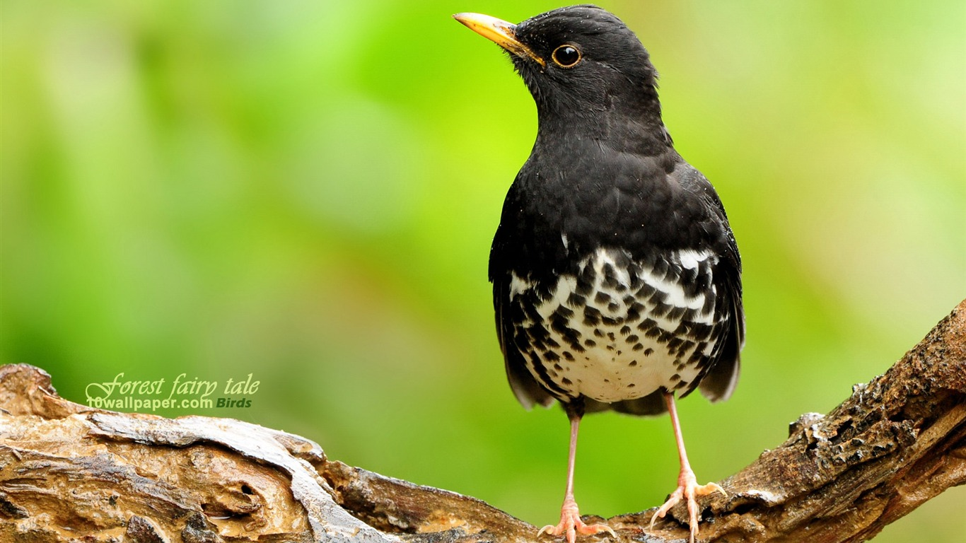 Japanese_Grey_Thrush_Japanese_Thrush-black_lovely_spring_bird_wallpaper