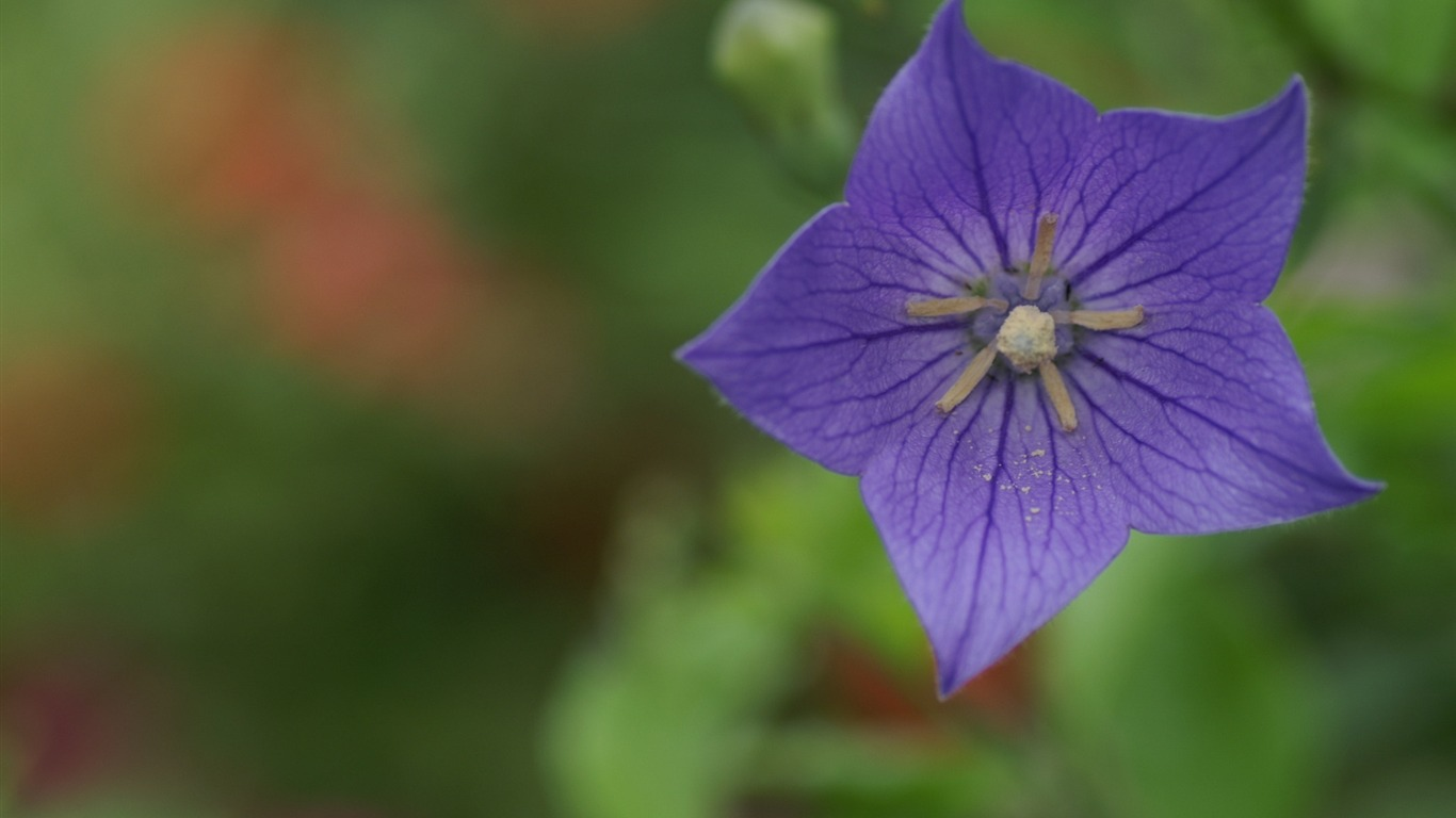 Purple Star Flower Digital Cameras Flowers Photography Wallpaper