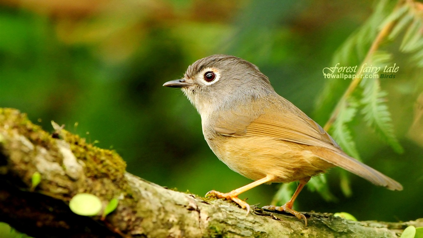 Spring_birds-white_eye_thrush_Gray-cheeked_Fulvetta_wallpaper