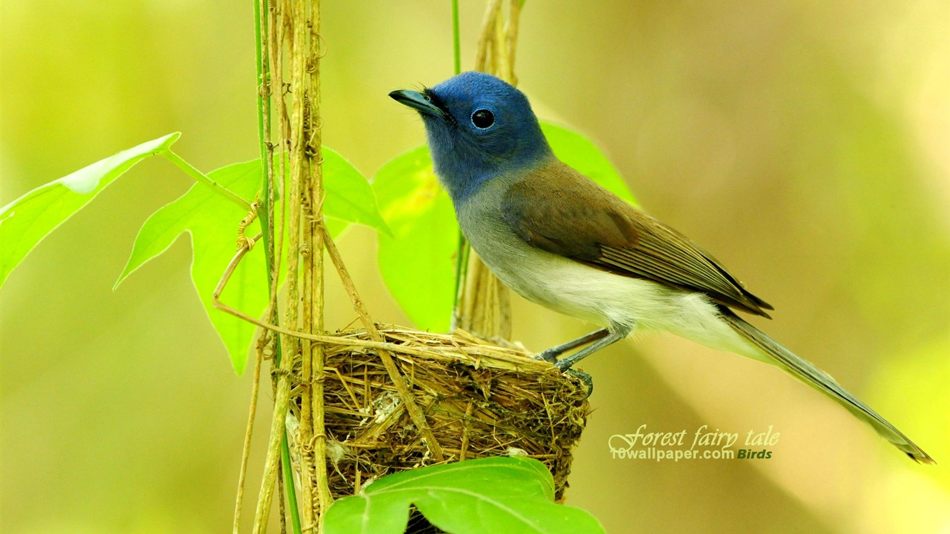 Wizard_Bird-Buff-breasted_blue_flycatcher_wallpaper