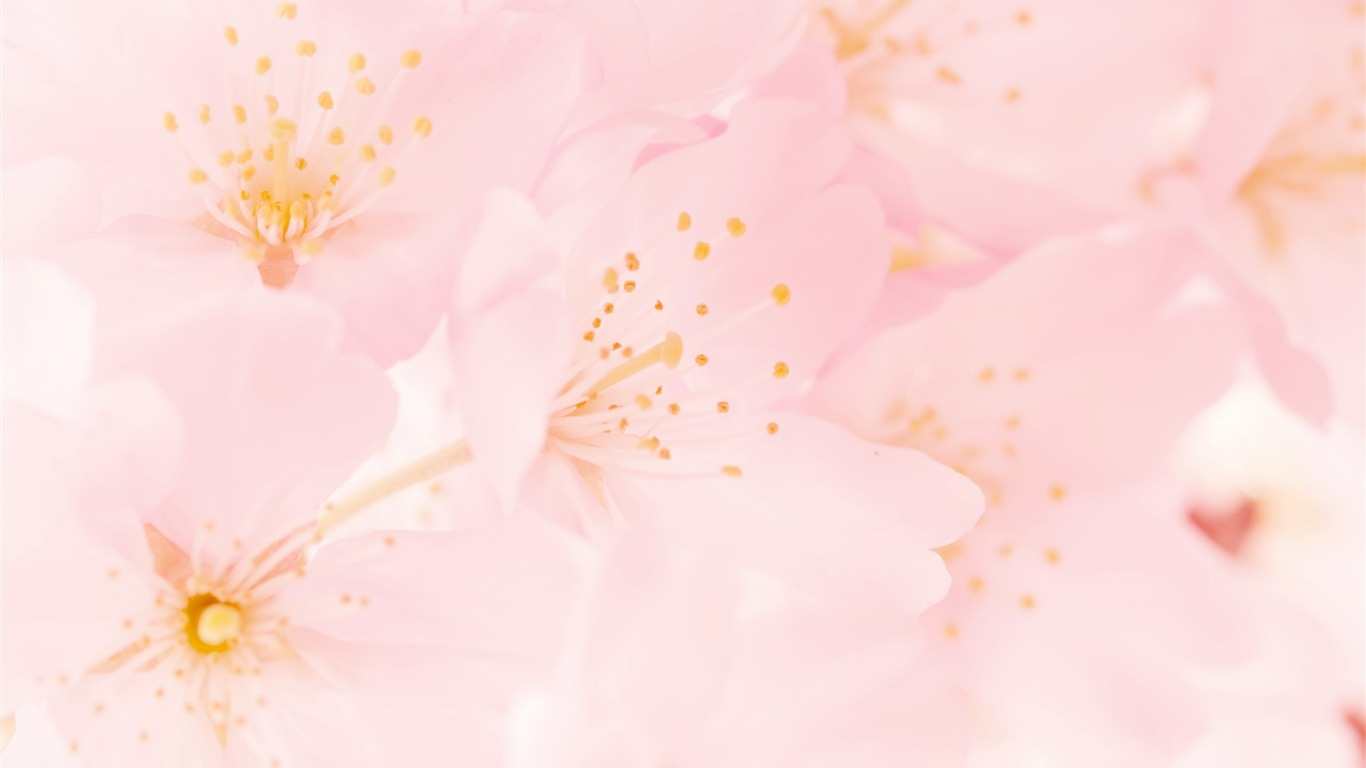 De Floraison Des Fleurs De Cerisier Papier Peint 1366x768