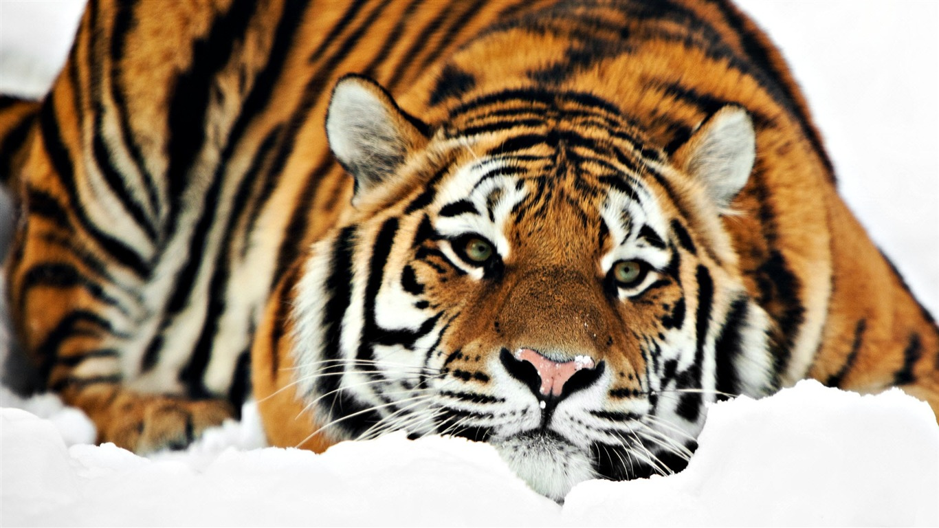 Cute_tiger-Animal_World_Series_Wallpaper