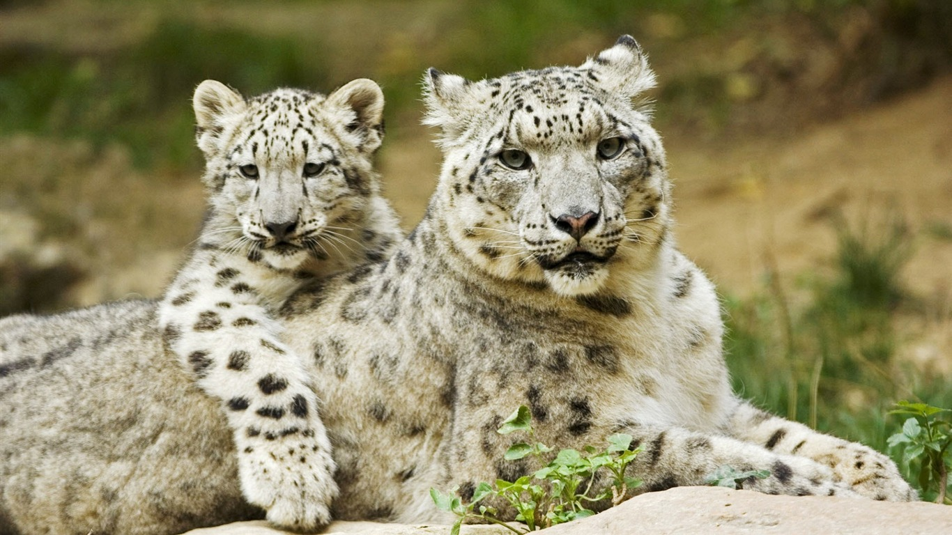 Snow_Leopard_Mother_and_Cub-Animal_World_Series_Wallpaper