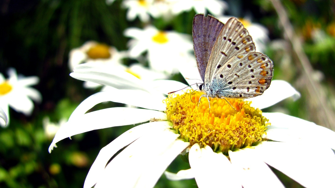 Flowers_on-beautiful_butterfly_-_Desktop_Wallpaper_Album2011.10.11