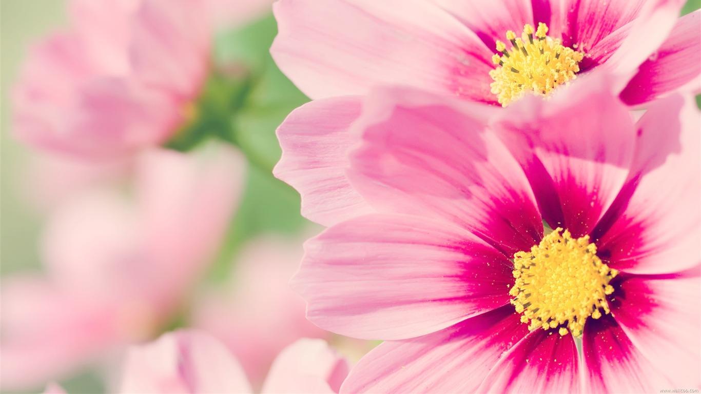 コスモスの 新鮮で自然な花のデスクトップ壁紙プレビュー