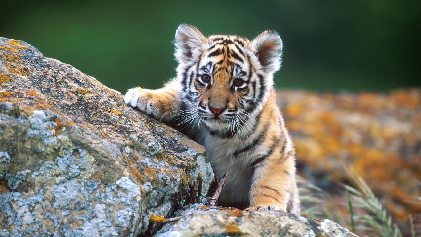 Little Tiger Cub Wildlife Wallpaper Preview 10wallpaper Com