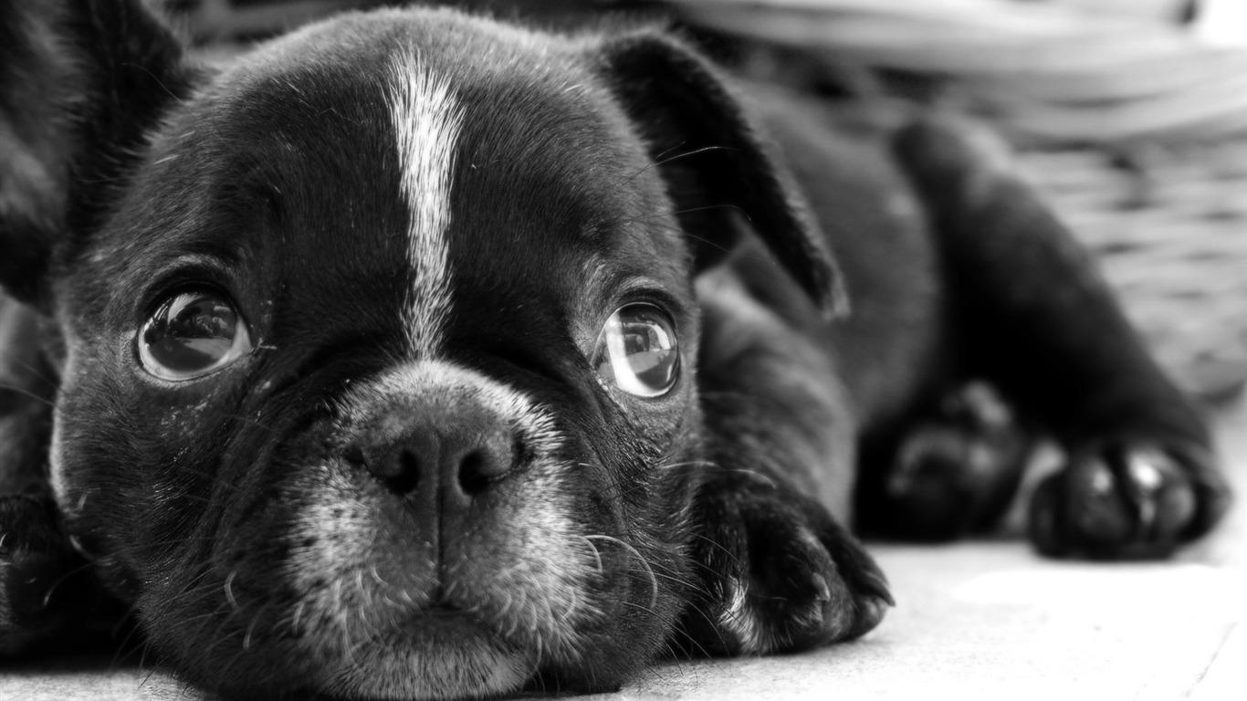 黒のフレンチブルドッグの子犬 犬動物デスクトップの壁紙プレビュー