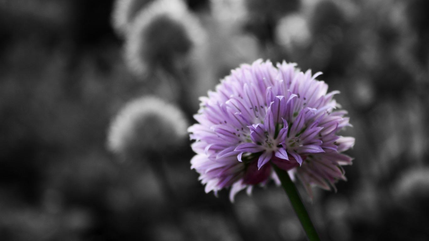 Flor Morada Sobre Fondo Blanco Y Negro Flores Fondos De Escritorio