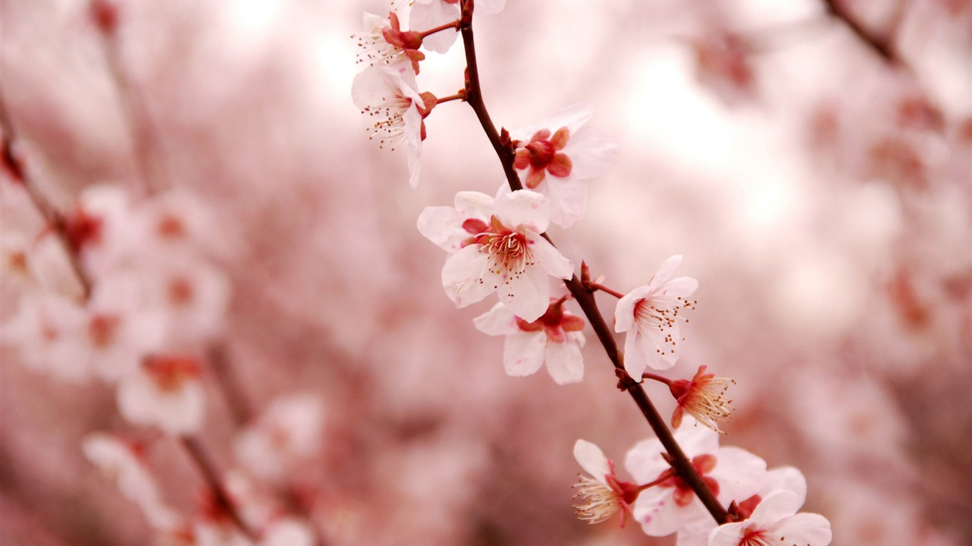 Pink cherry blossom-beauty spring desktop wallpaper