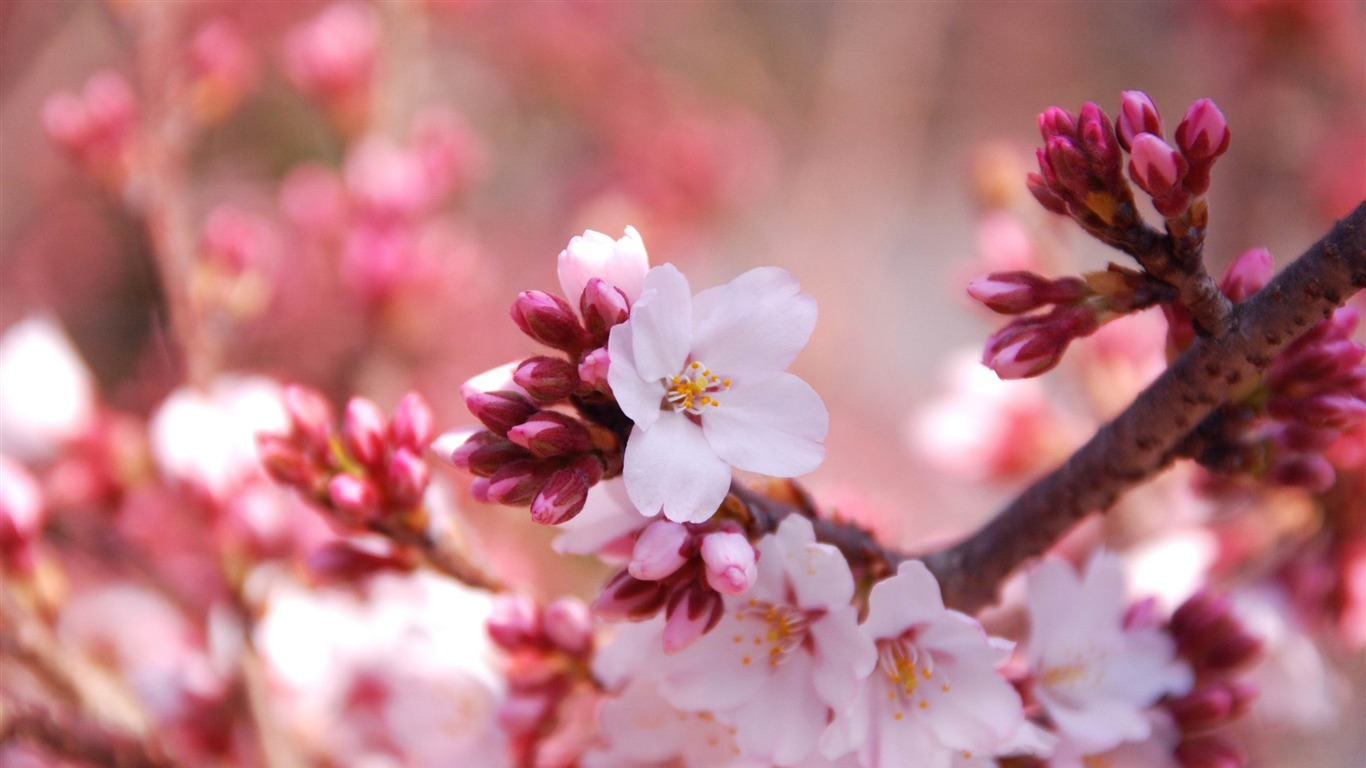 cherry_blossom_buds-beauty_spring_desktop_wallpaper2012.1.10
