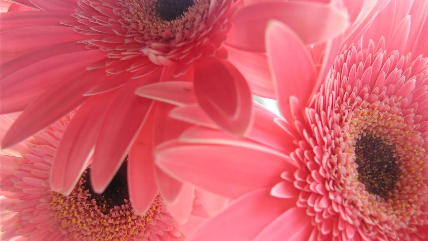 ピンクのガーベラの花 花壁紙画像集プレビュー 10wallpaper Com