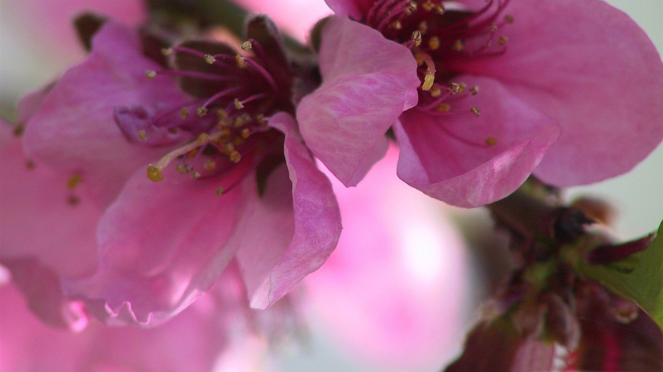 pink_flowers-spring_theme_Desktop_wallpaper2012.2.5