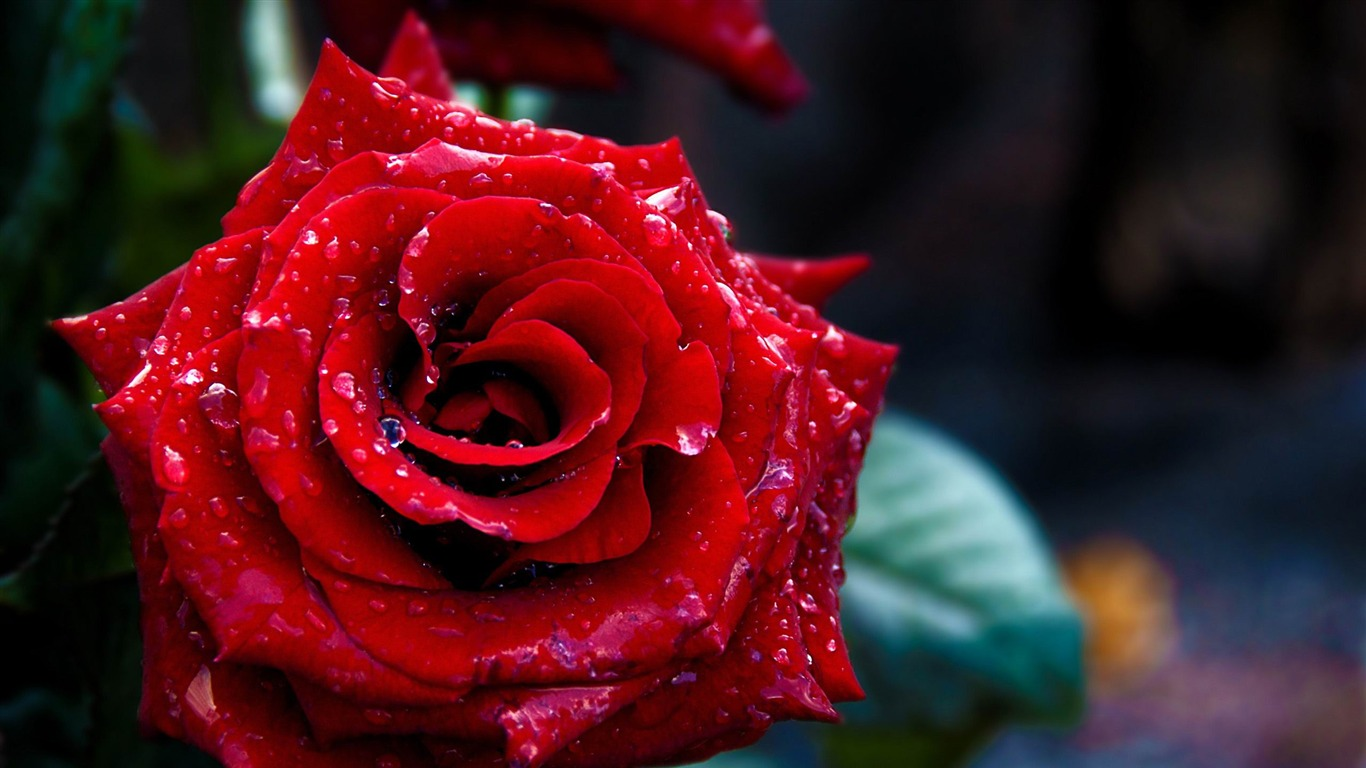 red_rose-Valentines_Day_flowers_photography_picture2012.2.15