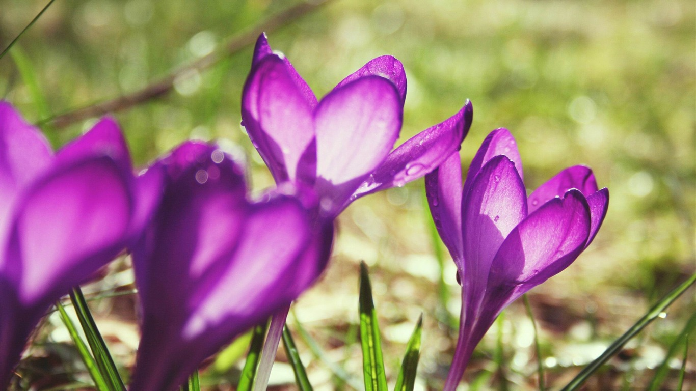 spring_crocuses-Valentines_Day_flowers_photography_picture2012.2.15