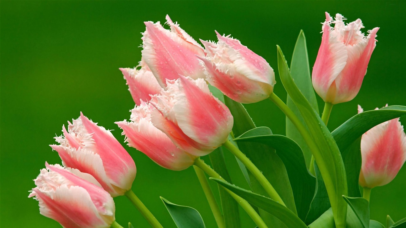 tulips-Flowers_Desktop_wallpaper2012.4.12
