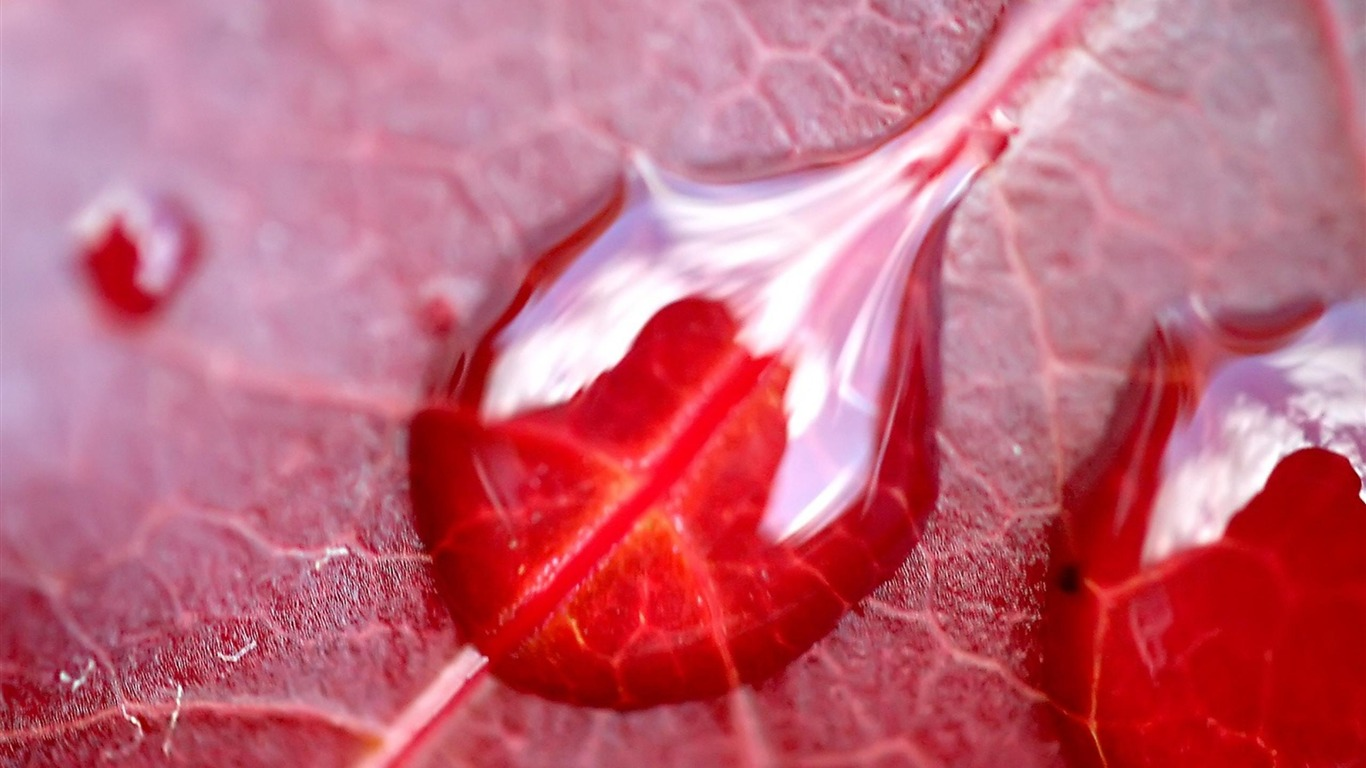 Red_leaf_Dew-natural_plant_wallpaper2012.5.26