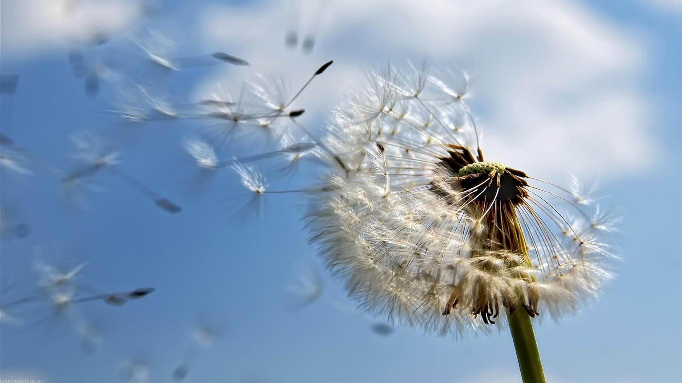 Seeding_Dandelion-flowers_photo_wallpaper2012.5.1