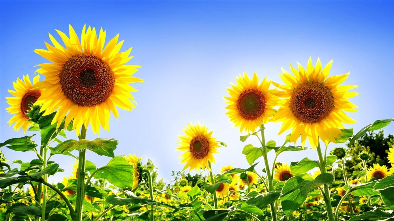 豪華なひまわり 夏の花の壁紙プレビュー 10wallpaper Com